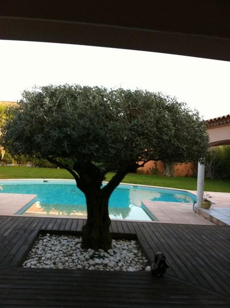 Taille d'un olivier à Mudaison