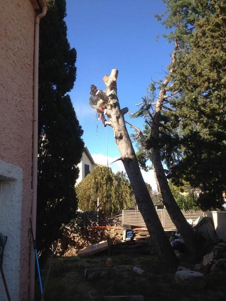 Abattage d'un pin à Baillargues